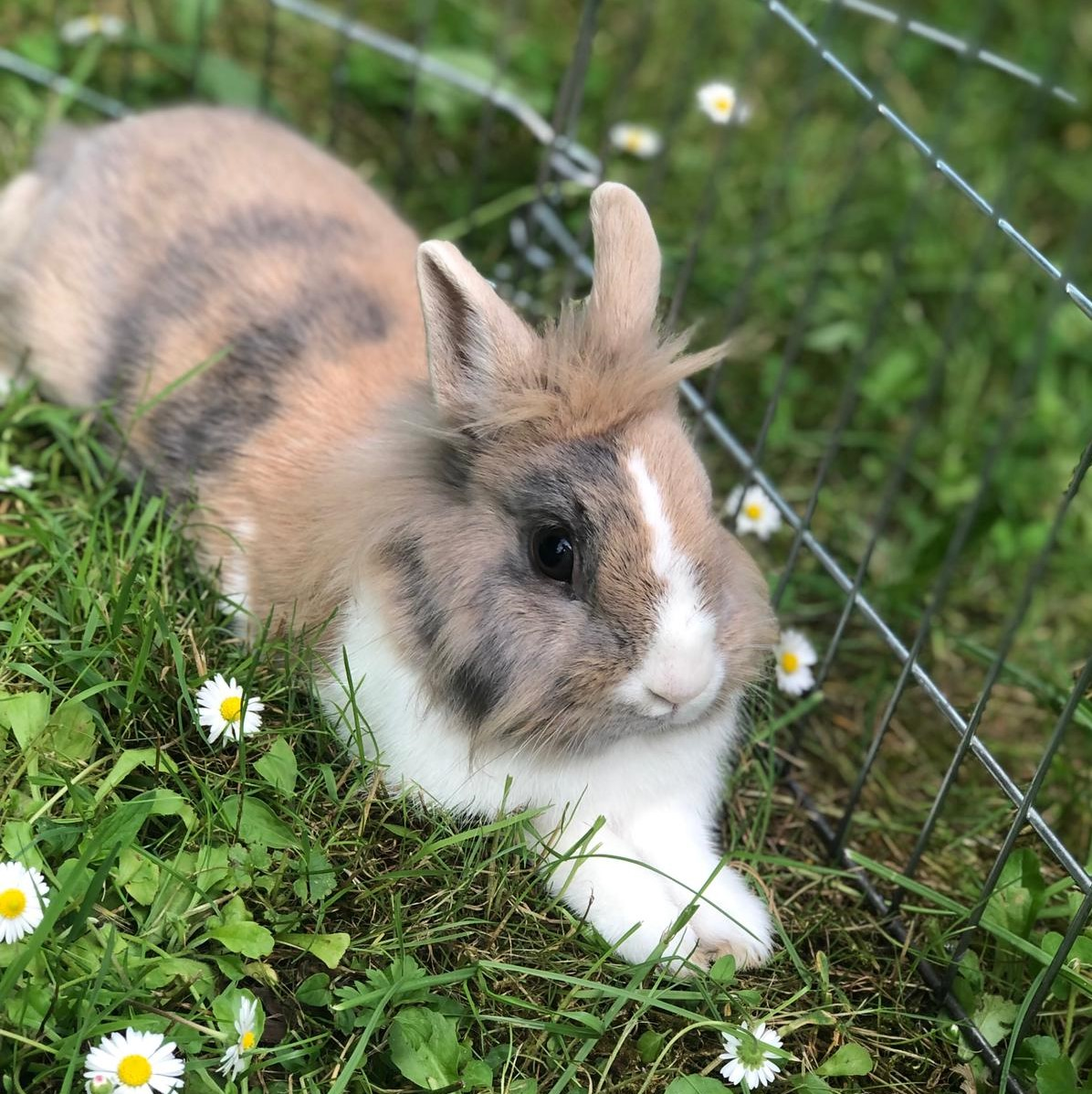 Kaninchenfräulein Chocomel – Reserviert